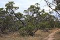 Eucalyptus incrassata (32594756736).jpg