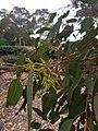 EucalyptusfibrosaWP2.jpg