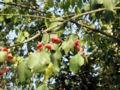 EuonymusBungeanusBerries2.jpg