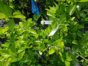 Euonymus - Euonymus fortunei in a nursery