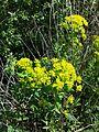 Euphorbia palustris sl5.jpg