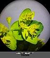 Euphorbia polychroma sl26.jpg
