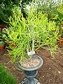 Euphorbia tirucalli 2 - Tower Hill Botanic Garden.jpg