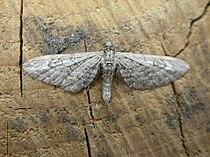 Eupithecia nanata.jpg