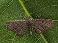 Eupithecia sp. (41393887591).jpg