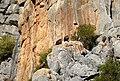 Eurasian Griffon Vultures. Gyps fulvus. (Spanish Buitre leonado) (25186023697).jpg