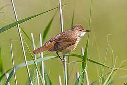 Eurasian Reed Warbler.jpg