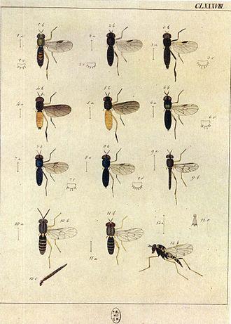Johann Wilhelm Meigen - Image: Europäischen Zweiflügeligen 1790CLXVIII