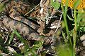 European Asp (Vipera aspis zinnikeri) - Flickr - berniedup (4).jpg