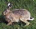 European hare.jpg