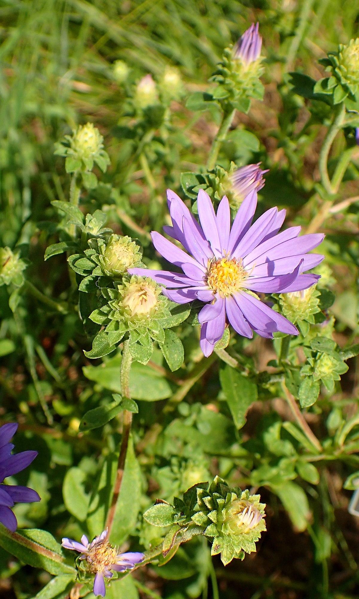 Eurybia Spectabilis Wikipedia