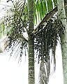 Euterpe oleracea (29319842680).jpg