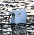 Evening Swan (23409361530).jpg