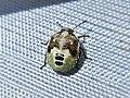 Eysarcoris venustissimus (Pentatomidae) (Woundwort Shieldbug) - (nymph), Elst (Gld), the Netherlands.jpg