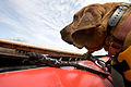 FEMA - 40686 - Valley Water Rescue search dog in North Dakota.jpg