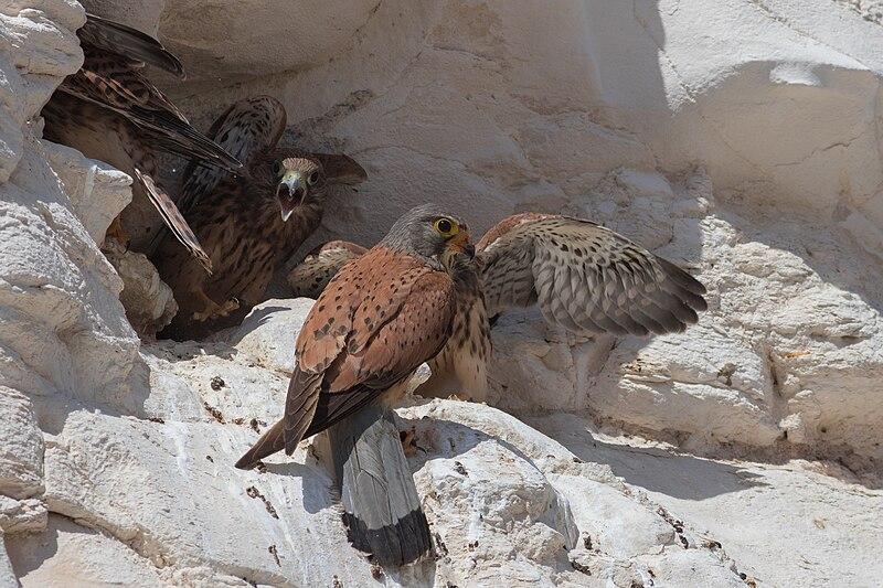 A group of lesser kestrels. Male feeding his chicks, Negev.