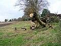 Fallen tree near The Green - geograph.org.uk - 1584331.jpg