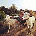 Farmer using bullcart in Bihar.jpg
