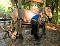 Farrier fitting a horseshoe (DSCF7230).jpg