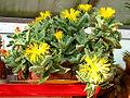 Faucaria-tigrina-flores.jpg