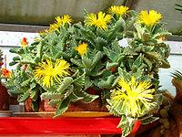 Faucaria-tigrina-flores