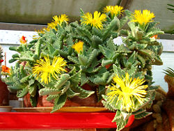 http://upload.wikimedia.org/wikipedia/commons/thumb/f/f1/Faucaria-tigrina-flores.jpg/250px-Faucaria-tigrina-flores.jpg