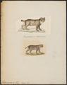 Felis cervaria - 1700-1880 - Print - Iconographia Zoologica - Special Collections University of Amsterdam - UBA01 IZ22100342.tif