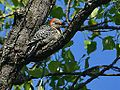 Female Red Bellied Woodpecker (7213645200).jpg