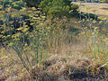 Fennel weeds at Goulburn.jpg