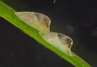 <i>Ferrissia</i> genus of molluscs
