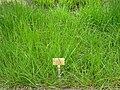Festuca arundinacea - Berlin Botanical Garden - IMG 8538.JPG