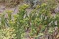 Fetbladstörel (Euphorbia paralias) -3016 - Flickr - Ragnhild & Neil Crawford.jpg