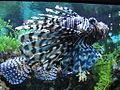 Feuerfisch Pterois antennata.jpg