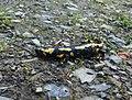 Feuersalamander (Salamandra salamandra) nahe Fleckenberg.jpg