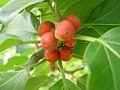 Ficus3.jpg
