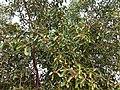 Ficus benghalensis near Thanjavur Railway Junction IMG 20180512 155329202 HDR.jpg