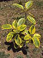 Ficus elastica Variegata.jpg