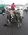 Fieracavalli 2014 - Buoi maremmani3.jpg