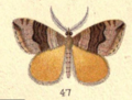 Fig. 47 Plate VII New Zealand Moths and Butterflies (1898).png