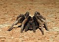 Fimbriated Striated Burrowing Spider Chilobrachys fimbriatus by Dr. Raju Kasambe DSCN0866 04.jpg