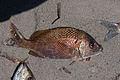 Fishing in El Manglillo Bay, Margarita Island 18.jpg