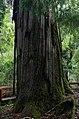 Fitzroya cupressoides trunk.jpg