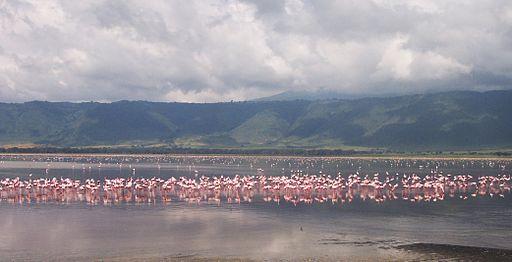 Flamand rose Ngorongoro Tanzanie