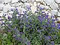 Fleurs des gorges de l'Ardèche 06.jpg