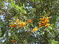Flickr - brewbooks - Grevillea robusta - Waimea Canyon, Kauai.jpg