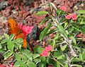 Flickr - brewbooks - Gulf Fritillary (Agraulis vanillae) butterfly.jpg
