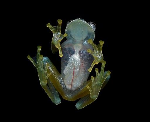 Rana de cristal vista del vientre