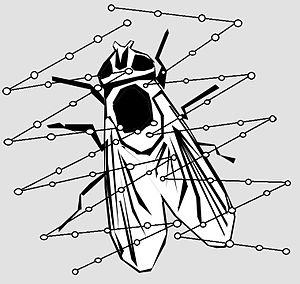 Scytodes thoracica - Schematic illustration of an immobilised prey