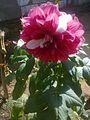 Flor Adália com pétalas de duas cores-Ba.jpg