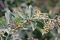 Flora della Sardegna 201 (07).jpg